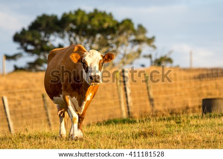 A single brown and white cow in a farmers paddock on a sunny day in New Zealand.