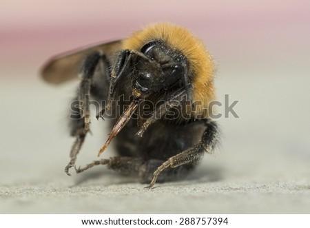 A single bumble bee close up - stock photo