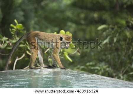 A single cheeky toque macaque (Macaca sinica) monkey drinking from a swimming pool in Matara. These reddish-brown Old World monkeys are endemic to Sri Lanka, known as the rilewa or rilawa in Sinhalese