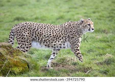 A single Cheetah walking on some grassland by a rock