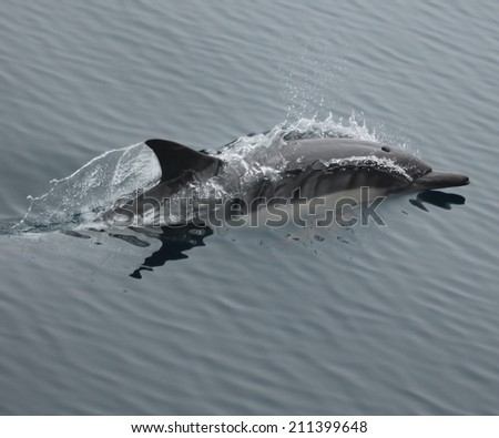 a single common dolphin surfaces after blowing