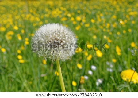 A single dandelion in close-up on a meadow - stock photo