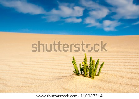 A single Euphorbia growing on a sand dune - stock photo