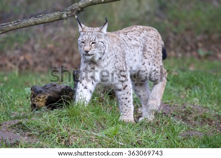 A single European Lynx walking in a clearing