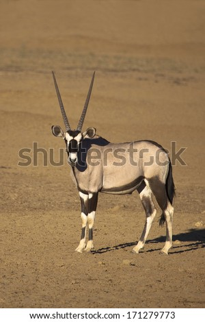 A single Gemsbok (Oryx gazella) stood in the desert of the Kalahari in Kgalagadi transfrontier park, South Africa