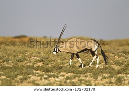 A single Gemsbok (Oryx gazella) walking in the Kalahari Desert in Kgalagadi transfrontier park, South Africa