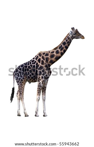 A single giraffe, isolated on a white background.