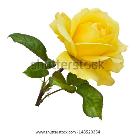 A single golden yellow rose on a natural stem with green rose leaves. Isolated on white with clipping path. - stock photo