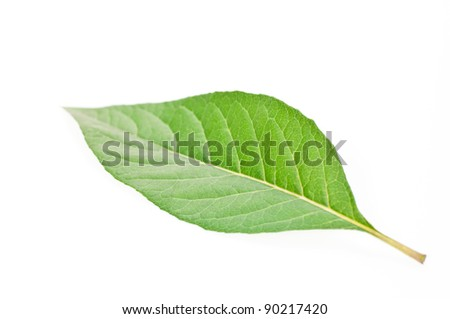 A single green leaf close up isolated over white background - stock photo