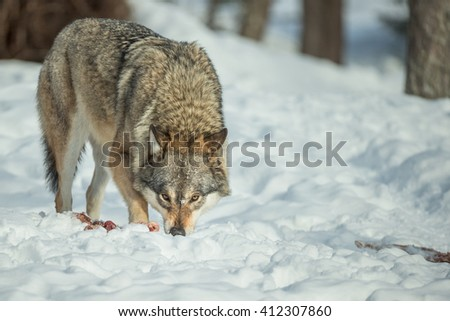 A single Grey Wolf standing over some scraps of food and looking directly at the camera. - stock photo
