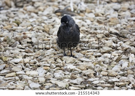 A single jackdaw standing on some light pebbles.