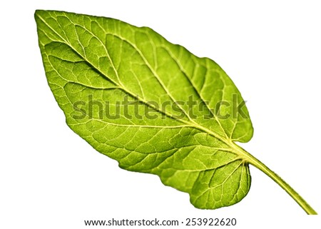 a single leaf with white background, in backlit. - stock photo