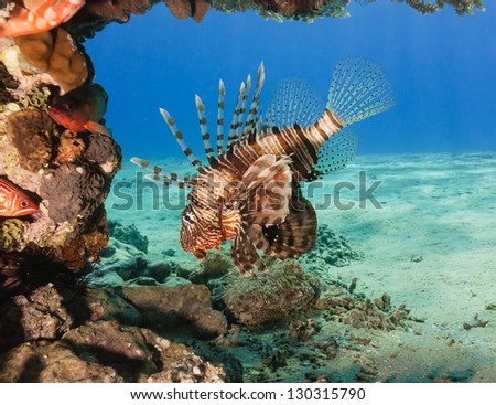 A single lionfish swims under a hard coral on a tropical reef - stock photo