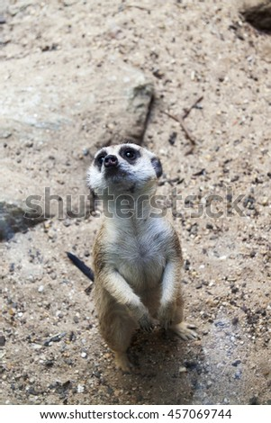 A single Meerkat standing on alert or guard  - stock photo