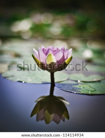A single pink lily leaves it's reflection in the water. - stock photo