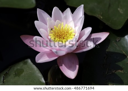 a single pink petaled water lily with yellow stamen and green leaves in a pond