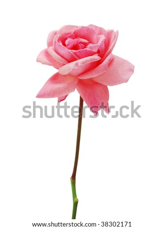 a single pink rose for 'love'