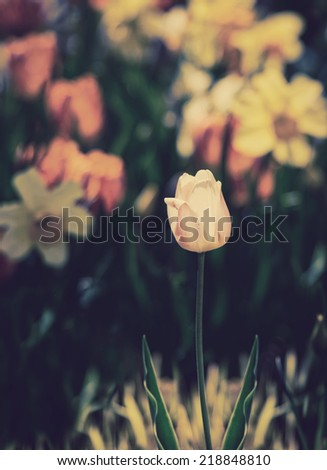 A single pink tulip in focus with orange tulips and yellow daffodils blurred in the background during the spring season.   Filtered for a retro, vintage look.  - stock photo