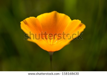 A single poppy. - stock photo