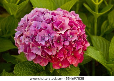 A single purple hydrangea flower