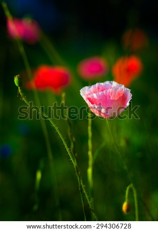 A single red and white  poppy - stock photo