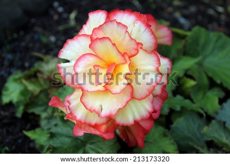 A single red and yellow begonia - stock photo