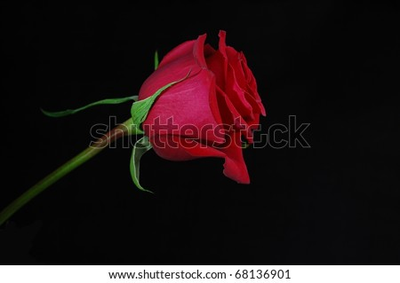 A Single Red Rose Isolated on a Black Background - stock photo
