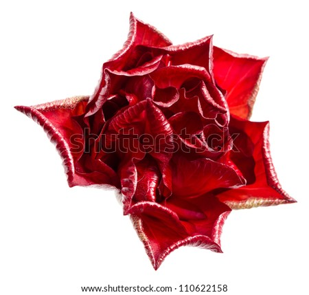 A single red rose isolated on white background