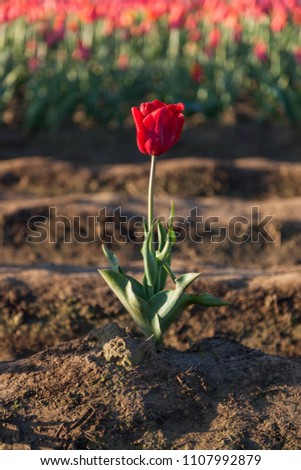 A single red tulip growing in a field away from the crowd of the other tulips.
