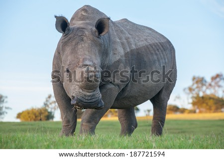 A single rhino staring curiously at the photographer. - stock photo