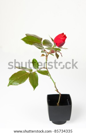A single rose in a black vase. - stock photo