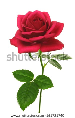 A single rose with leaves on the stem. - stock photo