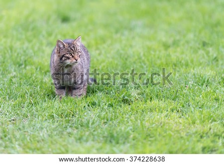 A single Scottish wildcat kitten {Felis silvestris}, standing and facing the camera - stock photo
