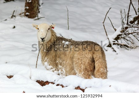 A single sheep stands in deep snow in a forest - stock photo