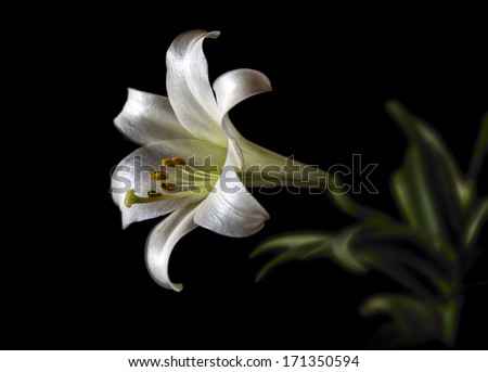 A single solitary bloom of a Lilium longiflorum also called Easter or November Lily. Presented in low key on black. Room for copy space.   - stock photo