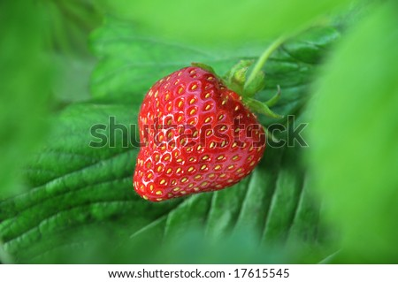 A single strawberry seen through and framed by leaves and vegetation