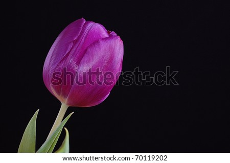 A Single, Stunning Purple Tulip on a Black Background with Room for Text