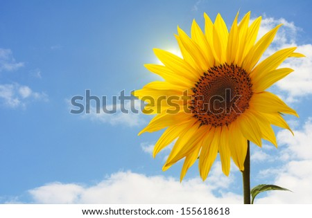 a single sunflower in front of a blue sky with clouds - stock photo