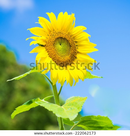 a single sunflower in front of a blue sky with clouds