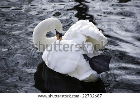 a single swan with the evening glow reflection in the river - stock photo