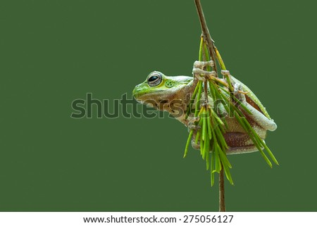 A single tree frog is hanging down a branch with a green background