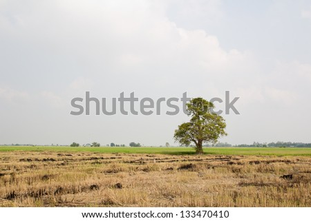 A Single Tree Standing Alone with Blue Sky and Hay