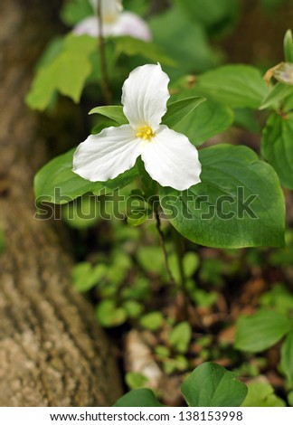 A single trillium grows at the base of the tree.  Trilliums are protected as the provincial flower of Ontario Canada - stock photo