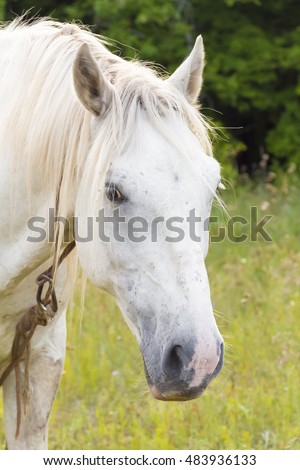 A single white horse grazing in a meadow.