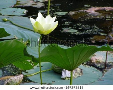 A single white lotus flower - stock photo