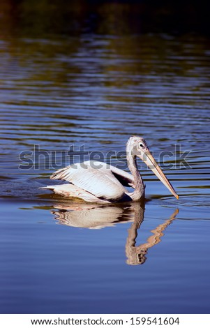 A single white pelican swimming isolated on water - stock photo