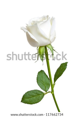 A single white Rose isolated on white background - stock photo
