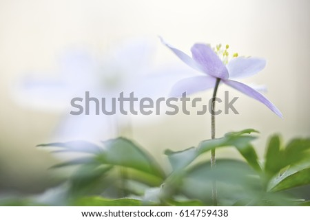 A single wild flower, Anemone nemerosa or wood anemone. A fragile sign of early spring. Soft focus image