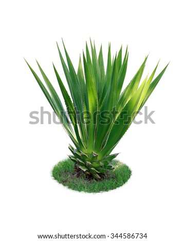 Sisal Stock Photos Royalty Free Images Amp Vectors