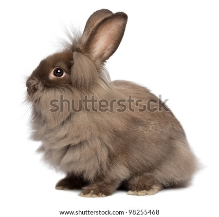 A sitting chocolate colored mini lionhead bunny rabbit, isolated on white background - stock photo